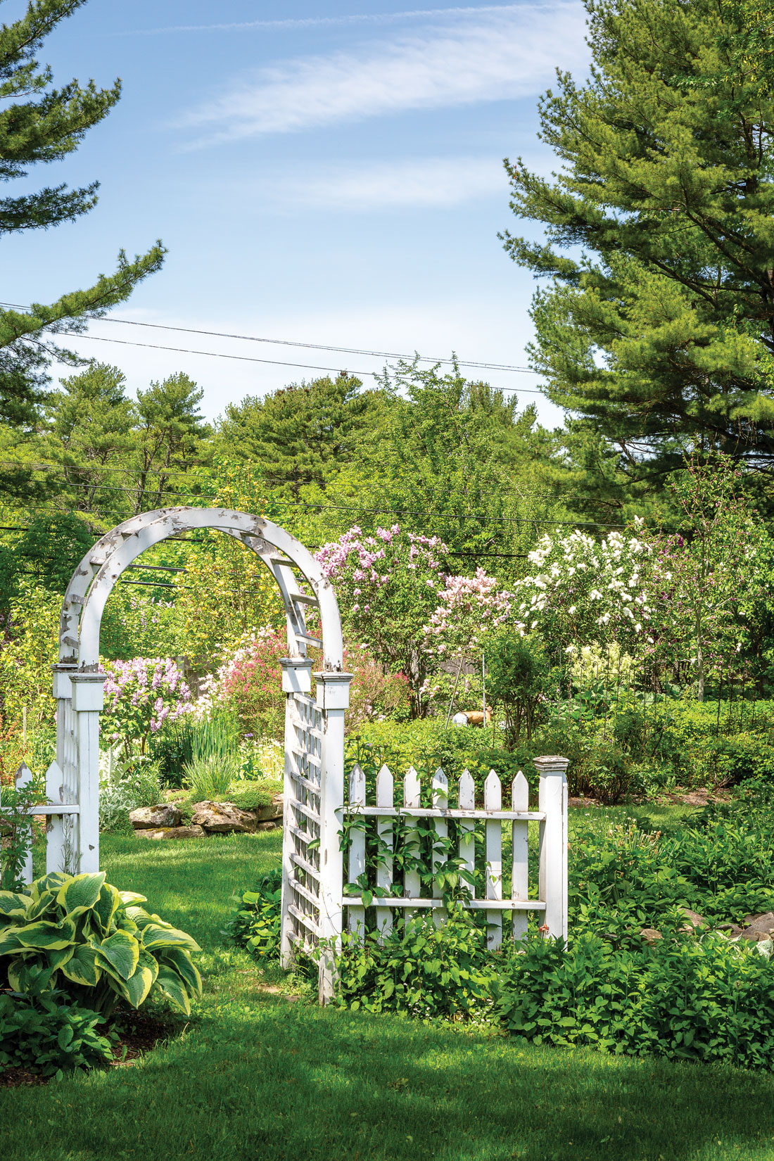 lilac garden in Northport Maine