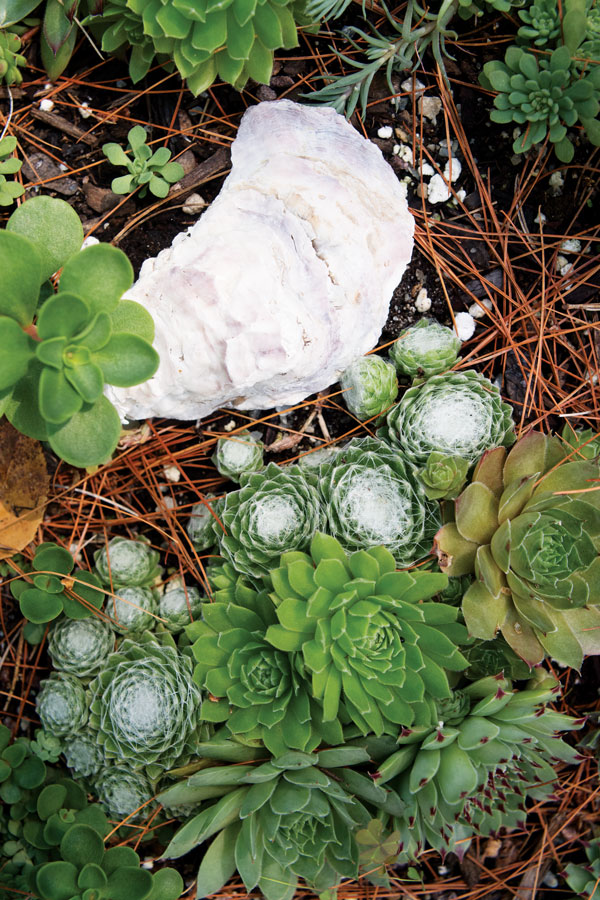 hens and chicks and bleached oyster shell