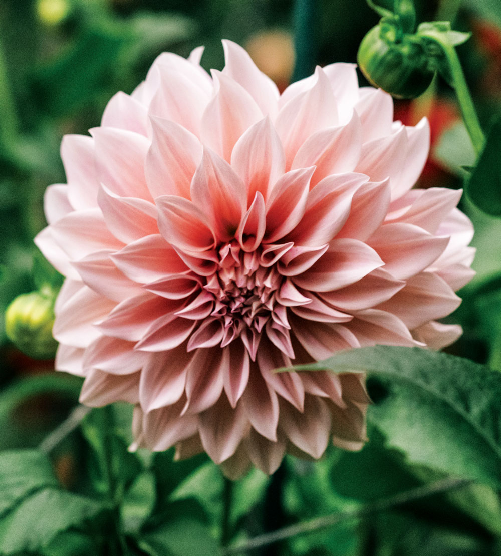 Joanne Fryer's top seller is Cafe au Lait, which produces 8-to-10-inch-wide creamy pink blossoms.