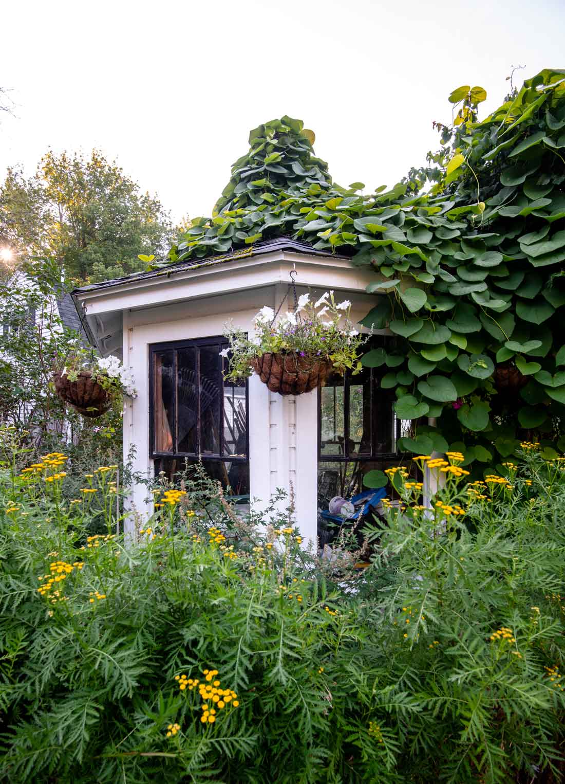 tansies and rooftop grapevines envelop an octagonal tool shed