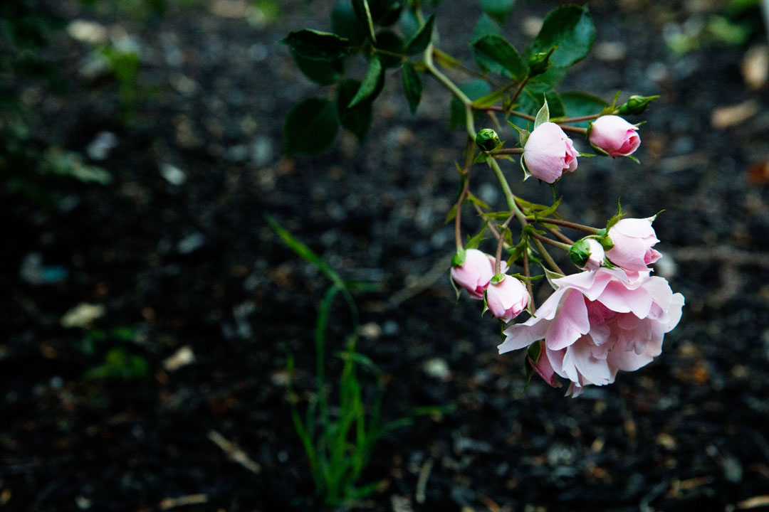 One of the rose bushes beginning to bloom