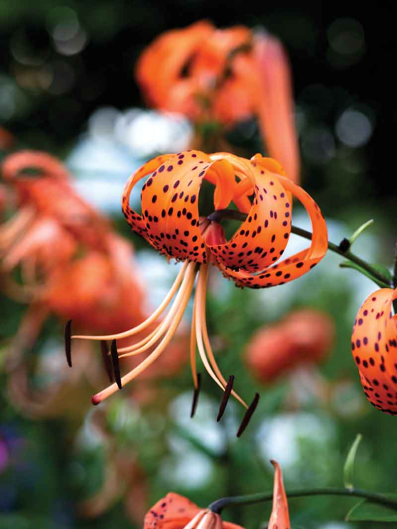 A fiery-orange tiger lily, its petals peppered with black speckles